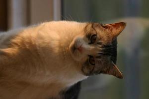 gato esperando el momento adecuado para atacar a la presa. foto