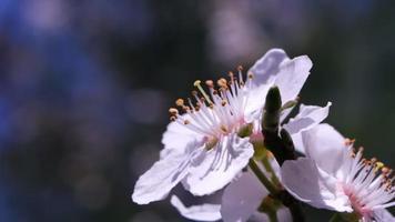 fleurs blanches fraîches d'un arbre fruitier au ralenti video