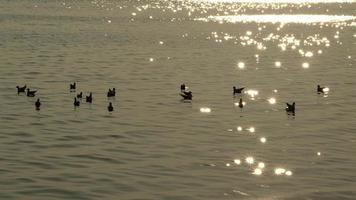 Seagulls Swimming in Water At Sunset video