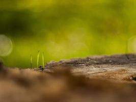 Closeup young grass sprouts on a dry wooden stump photo