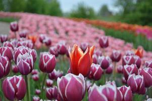 Textura de un campo de tulipanes florecidos multicolores foto
