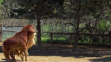 deux chevaux poney jouant dans l'écurie video