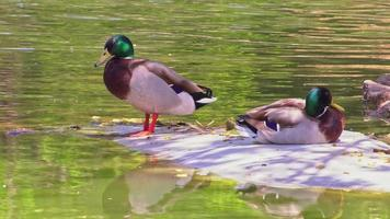 Two Mallard Ducks Perched On Ice video