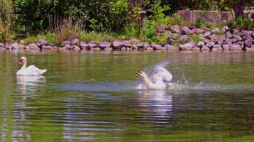 Two White Swan Grooming Itself in the Water of a Lake video