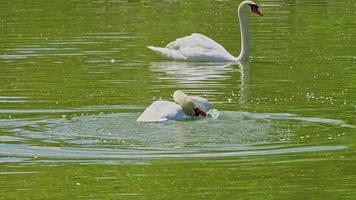 White Swans Floating Grooming Itself in the Green Water of a Lake video