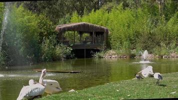 vilda fåglar som vilar i grön sjö med fontän video