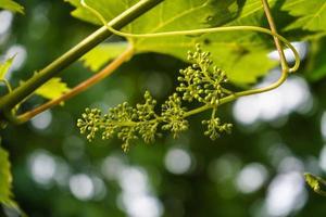 uvas de vino blanco y hojas foto