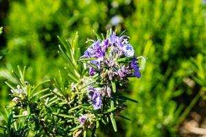 Aromatic blossom rosemary in the hills of Dubrovnik photo