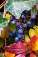 Climbing plant wild wine  - pathenocissus quinquefolia photo