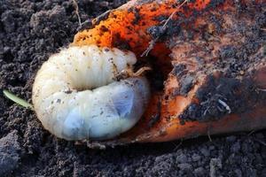 larva del escarabajo de mayo come vegetales. abejorro común o insecto. foto