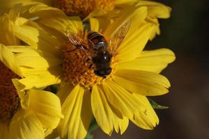 A bee gathering nectar on a yellow flower photo