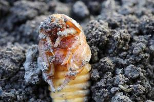 The pupated beetle larva. In the larva formed legs. photo