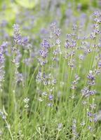 Natural purple lavender flowers photo
