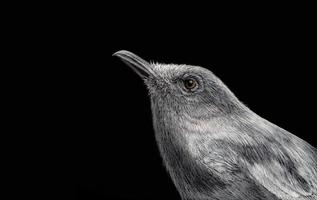 Oriental magpie robin Painted with white ink and crayon on black paper photo