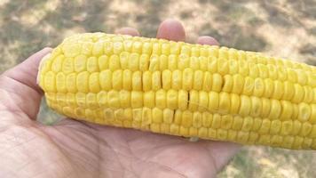 Ready to eat corn on the cob photo
