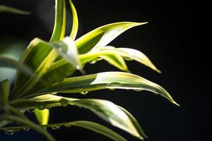The Aglaonema plant known as Chinese evergreen photo
