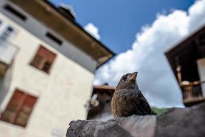 Close up of a sparrow in San Martino di Castrozza, Trento, Italy photo