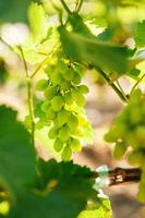 green grapes in the sun photo