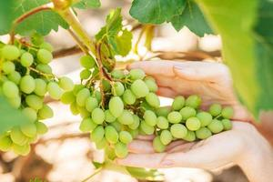 woman hand holds green grapes in summer photo