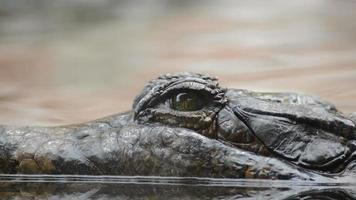 Eye of crocodile, false gharial or tomistoma, looking to camera video