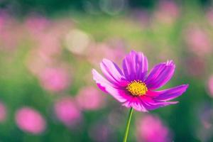 flores de cosmos con fondo natural suave foto