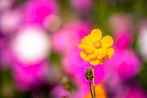 Beautiful Cosmos flowers. photo