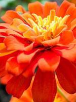 Vivid Orange color of Zinnia flower close-up shallow depth of field photo