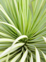 Succulent Yucca plant thorn and detail on leaves of Narrowleaf Yucca photo