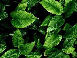Superficie de hojas tropicales frescas en tono oscuro como fondo de bosque abundante foto