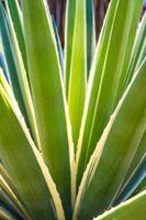 Succulent century plant thorn and detail on leaves of Caribbean agave photo