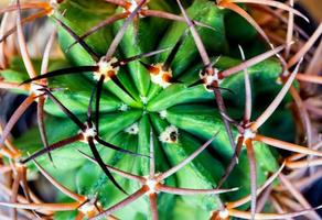 Curved and large thorns of cactus, Succulent plant close up photo
