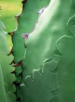 Succulent plant close-up, fresh leaves detail of Agave titanota Gentry photo
