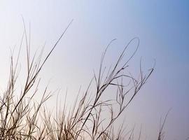 brizna de hierba seca a la luz del atardecer foto