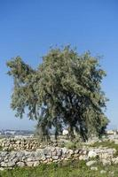 Landscape with the ancient ruins of Chersonesos and a tree. photo