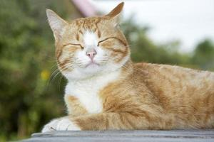 Ginger kitten close up. Portrait of a cute tabby cat close-up lying photo