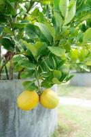 Limón fresco colgando de un árbol en la granja foto