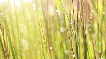 bokeh dew drops in grass and the rice plant when the sun rises video