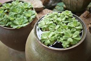 Water plant in garden photo