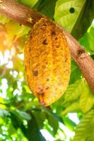 Yellow ripe cocoa fruit on the tree photo