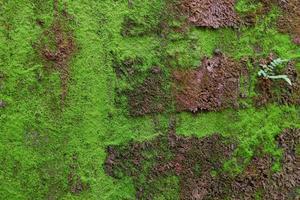 Close-up de textura de musgo verde en la antigua muralla de fondo foto