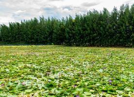 Flores de lirio de agua y hojas verdes en el lago con fondo de pino foto
