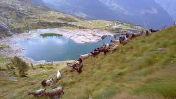 gregge di capre in montagna video