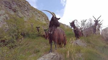 alcune capre di montagna pascolano video