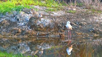 Black-winged Stilt catching fish in shallow water on the lake. video