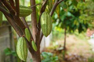 mazorcas de cacao verdes frescas sin cosechar foto