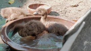 una bandada de lindos patos marrones jugando en el agua un caluroso día de verano. video