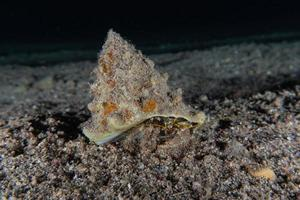 Hermit Crab in the Red Sea Colorful and beautiful, Eilat Israel photo