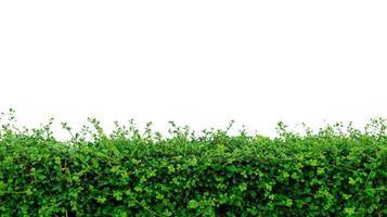 Hedge plant isolated on white background photo