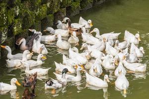 Many beautiful white ducks Perdana Botanical Garden, Malaysia. photo