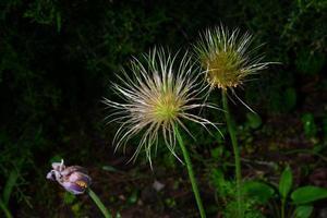 semillas abiertas lumbago, hierba dormida, lat. anémona vulgar foto